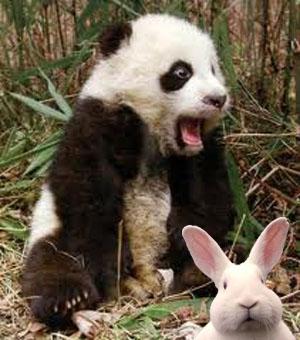 Panda qui boulote un lapin